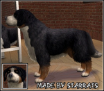 Bernese Mountain Dog Preview